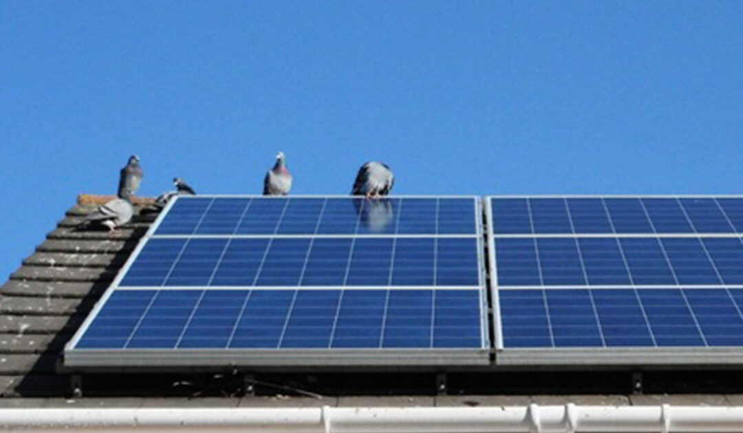 Solar Panel Pigeon Problems
