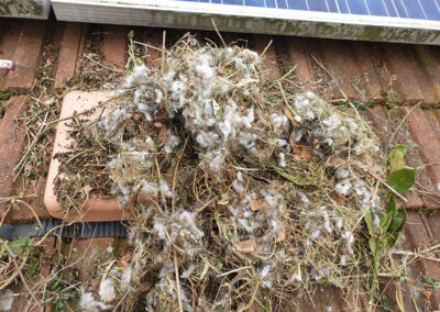 Squirrels dray_nesting material