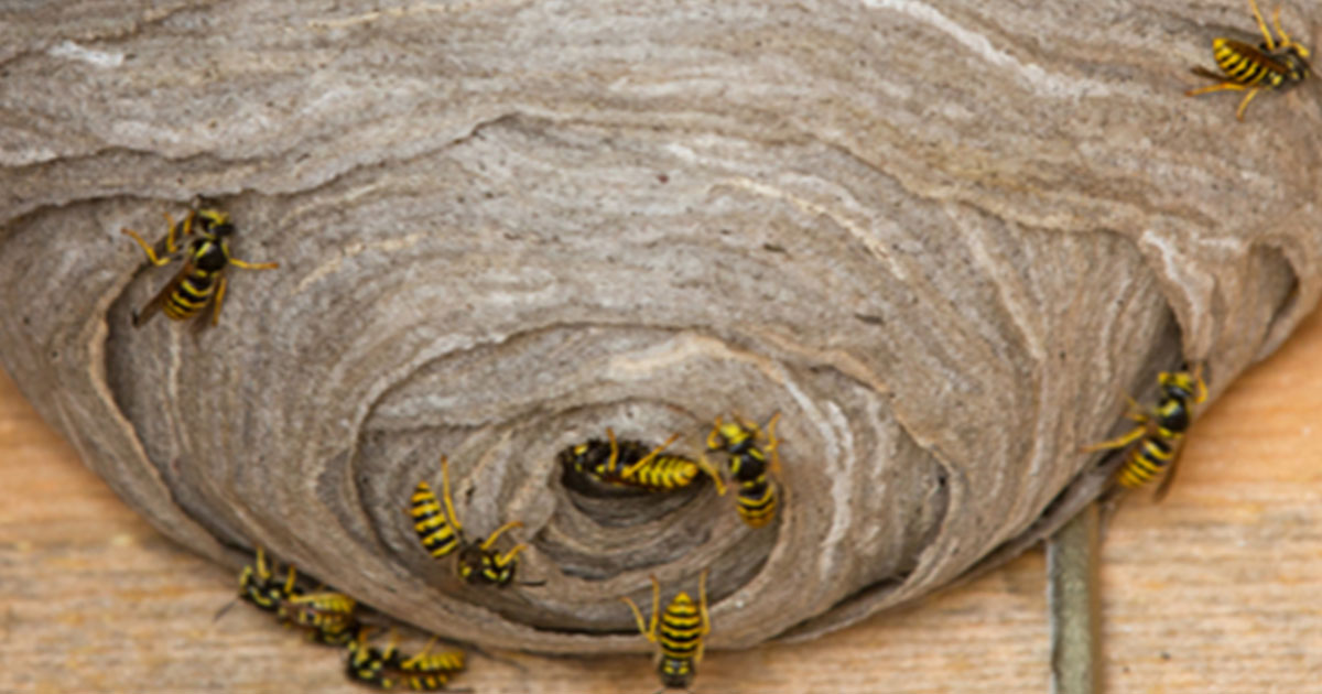 Wasp-Nest-Leave-it-to-the-Professionals