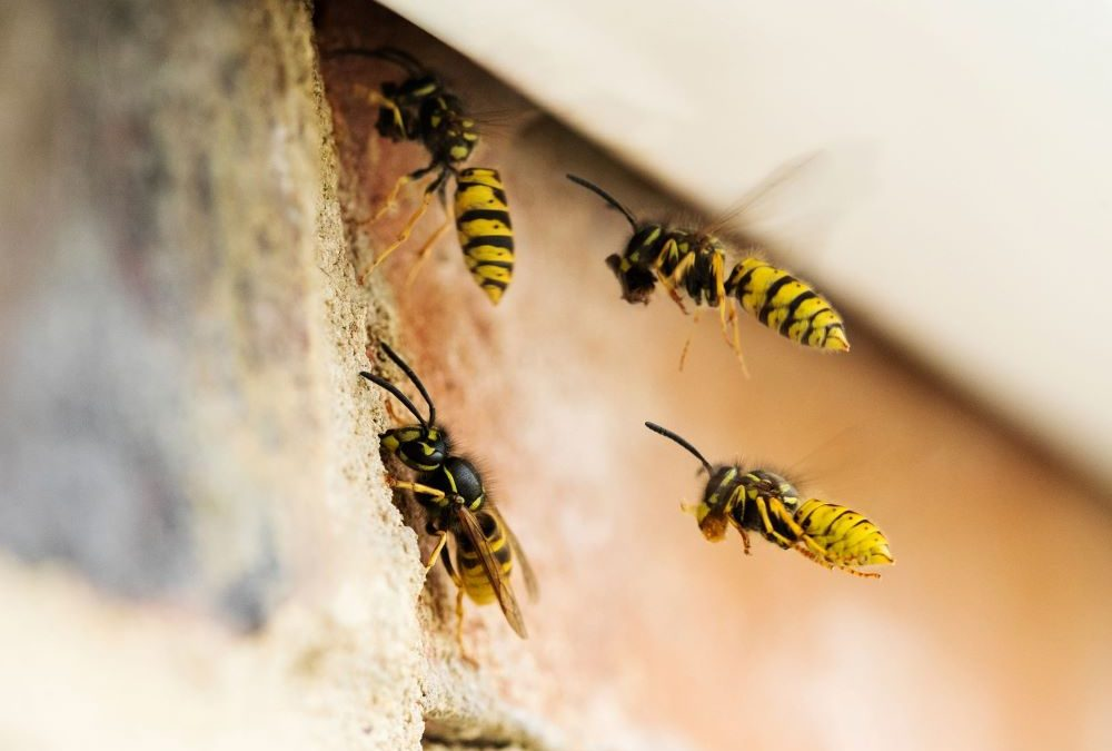 PestWatch August – Wasp Identification Guide