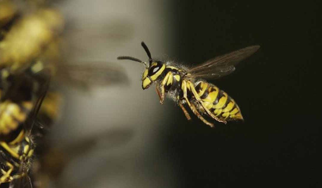 PestWatch July – Wasps