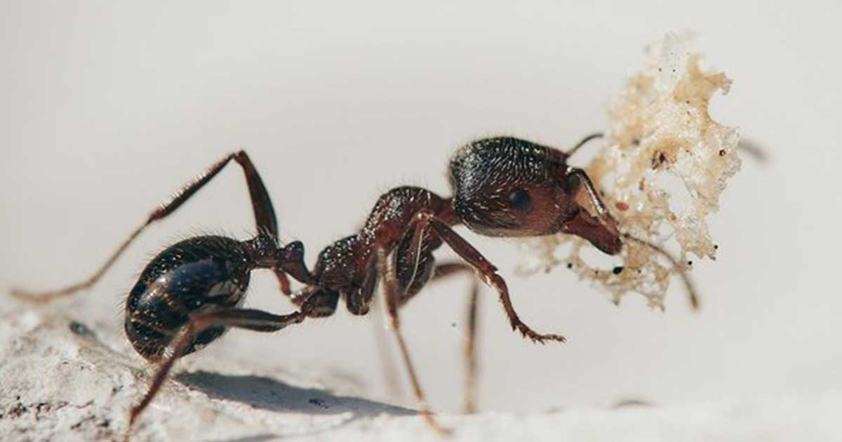 pestwatch-june-ants