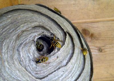 Wasps Nest Building